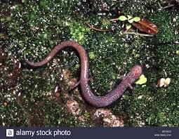california backyard california slender salamander batrachoseps attenuatus belly in san