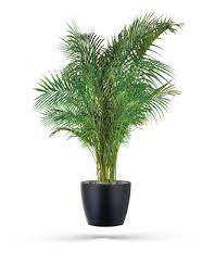 plant for office areca palm office plants