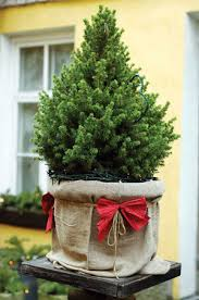 live christmas trees caring for a live christmas tree nature and environment