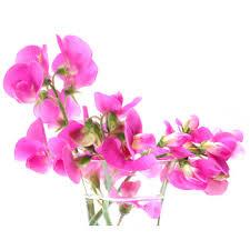 sweet pea flowers sweet pea fragrance essential supply inc