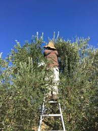 highlights from frog hollow farm s 2017 olive harvest tree to