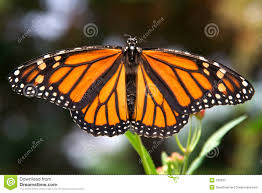 closeup of monarch butterfly with wings spread stock photo image