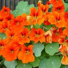 nasturtium flowers nasturtium seeds gleam orange flower seed