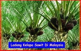 Minyak Kelapa Sawit Terkini saiz keluasan ladang kelapa sawit di malaysia kelapasawitnews
