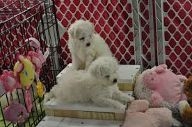cost of a bichon frise puppy teething tips cambeas bichon frise puppies
