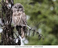 great grey owl on tree stock images royalty free images vectors