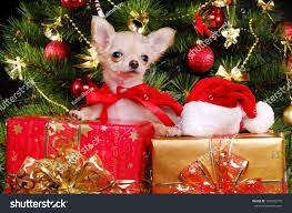 Chihuahua Christmas Ornaments Chihuahua Puppy Sitting On Present Boxes Stock Photo 120742576
