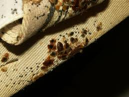 What Causes Bed Bugs To Come Photos Of Bed Bugs In A Wooden Bed Frame Head Board And Box Spring