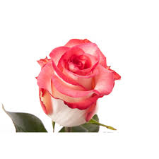 multi colored roses pink and white bi color blush multi colored roses