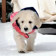 goldendoodle puppy virginia available goldendoodle puppies in virginia teddy