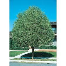 australian native shade plants shop 11 1 gallon australian willow shade tree l9406 at lowes com