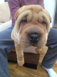shar pei sale ireland shar pei puppies buy buy shar pei breeders