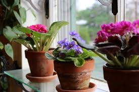 african violet grow light african violets how to achieve constant bloom