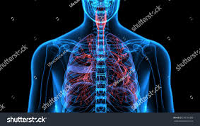 male anatomy human respiratory system xray stock illustration