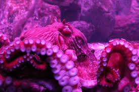 all about the interesting lifespan of the eight tentacled octopus