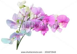 sweet peas flowers free photos sweet peas multicolor flowers avopix