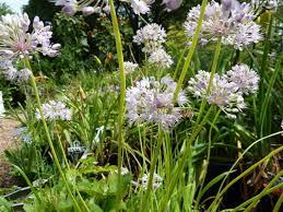 allium senescens tree ornamental german garlic curley