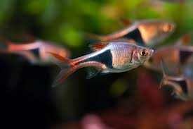 january 2011 tropical ornamental fish photos with names