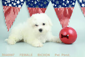 bichon frise virginia beautiful hypoallergenic bichon frise puppies reduced in hoobly