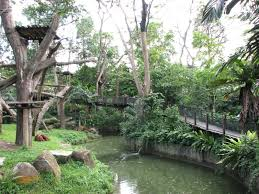 bentley orangutan singapore zoo photo galleries zoochat