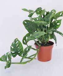 buy house plants now intenz home swiss cheese plant u0027monkey mask