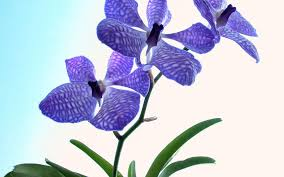 Flower Of Orchid - orchids widescreen wallpapers