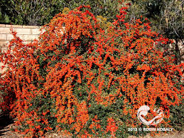 All Year Flowering Shrubs - plant of the month the power of plants
