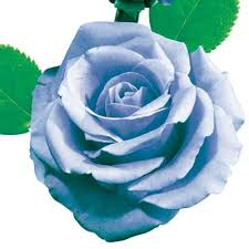 Blue Roses For Sale Quick Search For Roses