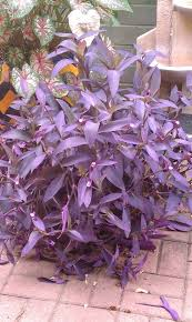 tucson native plants your heart or mine desert potted plant of the month purple