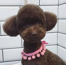 grooming dog grooming pinterest poodle dog and grooming salon