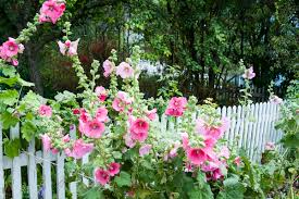 6 flowers for the cottage garden thisnzlife