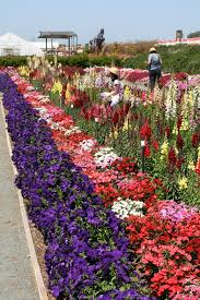carlsbad flower garden the flower fields at carlsbad ranch the mom u0027s guide to san diego