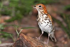 North Carolina birds images Wood thrush audubon north carolina jpg