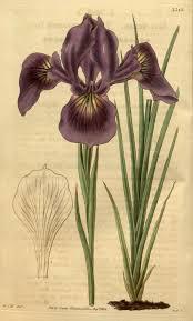 nw native plants spectenax u003c spec u003c iris wiki