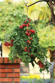 How To Plant Vertical Garden - growing tomatoes in hanging basket vertical gardening balcony