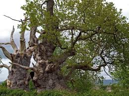 ancient 2000 year oak tree known as gog goes up in flames in