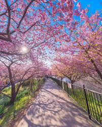 cherry blossoms just bloomed in this japanese town and the