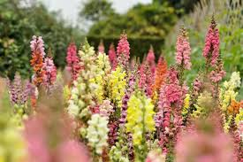 snapdragon flowers how to grow and care for snapdragon plants