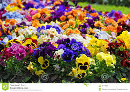 heartsease flower garden close up royalty free stock photos