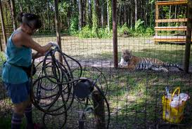 is cuddling tiger cubs conservation jacksonville news sports