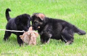 january 2013 naj haus haus morrisson german shepherd puppies stud service maryland