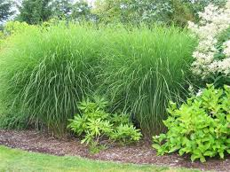grass miscanthus sinesis foot zoning grasses