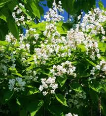 Trees With White Flowers Large Flowering Trees Mike U0027s Garden Top 5 Plants