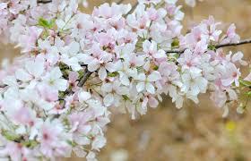 macon u0027s international cherry blossom festival 2018