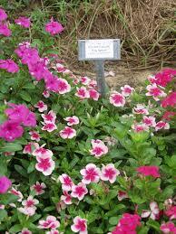 Vinca Flower Information - texas superstar