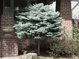 globe colorado blue spruce outdoor gardening foundation