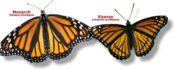 how does selection result in the viceroy butterfly bearing a