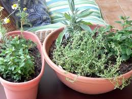 indoor herb gardening can yield home remedies healthy living