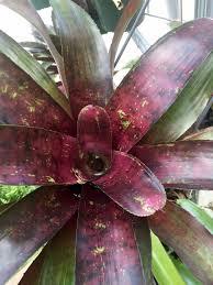 neoregelia u0027fiesta u0027 fiestas large plants and plants
