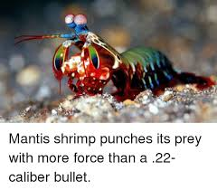 Mantis Meme - mantis shrimp punches its prey with more force than a 22 caliber